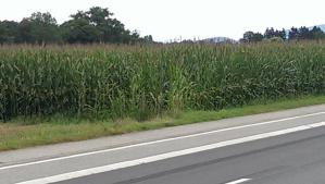 A scene from Minnesota in Geneva Switzerland! Corn!