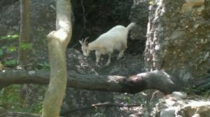 Wild goat on the trail